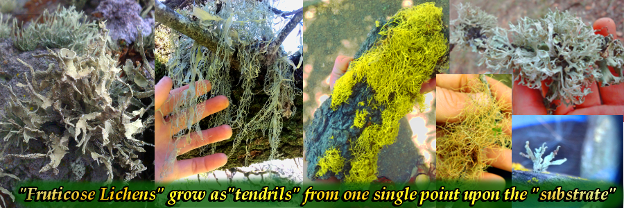 """Tendrils"" are long, slender, fleshy structures that grow in the form of inert tentacles."