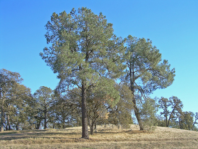 Grey Pine {Pinus Sabiniana}. Courtesy of Flickr user David Sawyer. Released under a Creative Commons Attribution-ShareAlike 2.0 Generic License.
